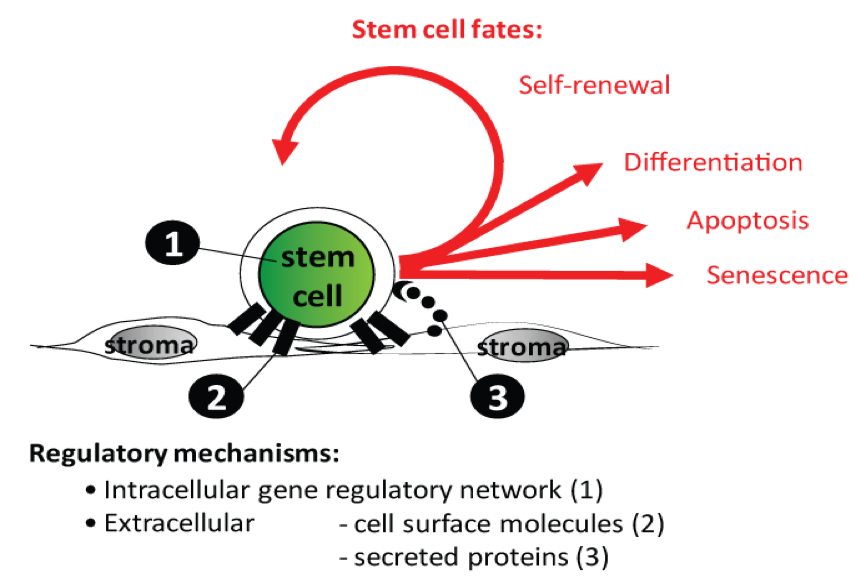 The Science of Stem Cell Therapy