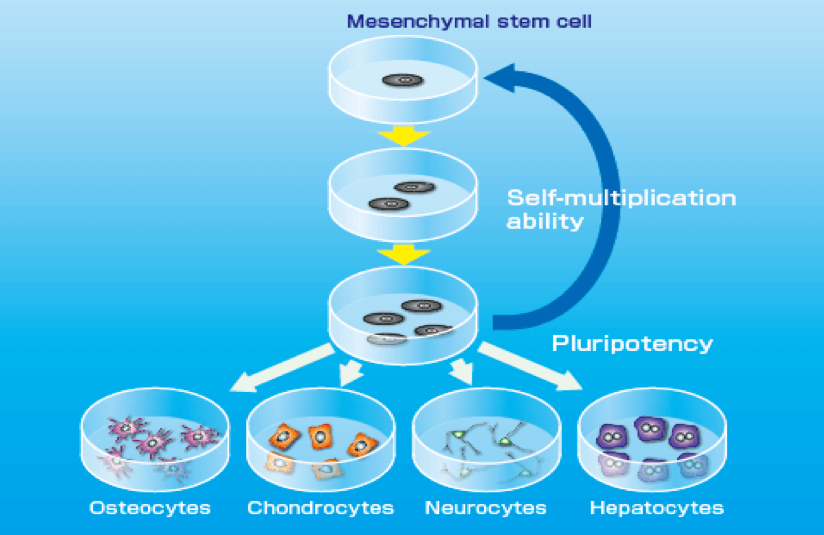 Embryonic Versus Adult Stem Cells
